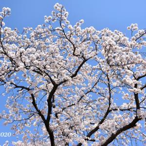 川沿いに 桜700本『横浜・大岡川』