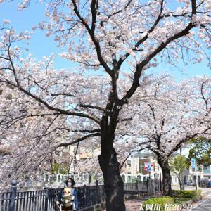 川沿いに 桜700本『横浜・大岡川』②