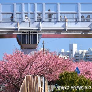 見頃のピークは過ぎた 『三浦海岸河津桜 2021』④