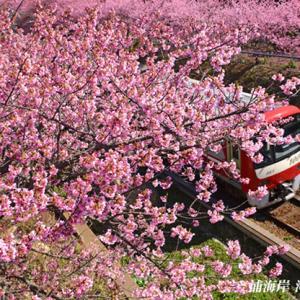 見頃のピークは過ぎた 『三浦海岸河津桜 2021』⑤