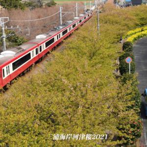 葉がめだつ頃 『三浦海岸河津桜2021』㉓