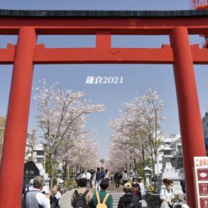 段葛の桜 満開 ② 『そうだ 鎌倉、行こう 2021』