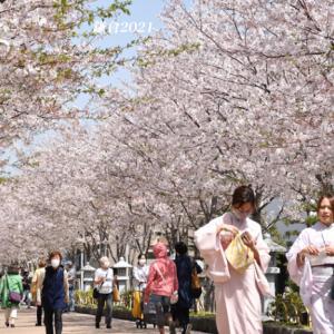 段葛の桜 満開 ③ 『そうだ 鎌倉、行こう 2021』