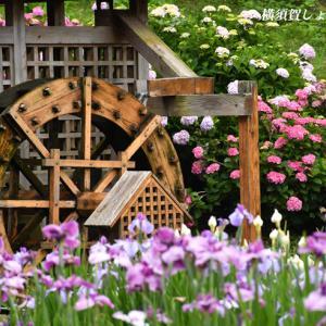 珍しい品種 『横須賀しょうぶ園 2021』②