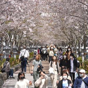 段葛の桜 満開 ④ 『そうだ 鎌倉、行こう 2021』