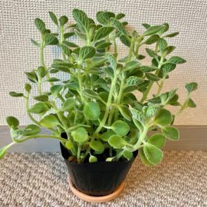 観葉植物、ビフォーアフター