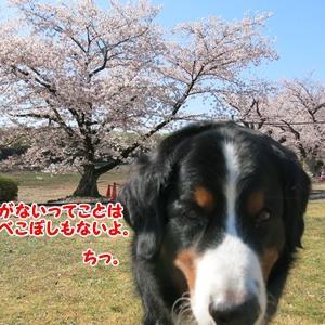 ホームの桜