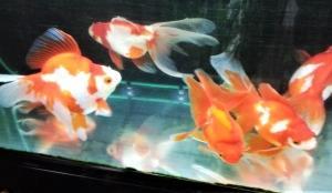 金魚の飼育用品 (メンテナンス その2)