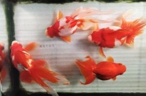 金魚水槽の上見鑑賞