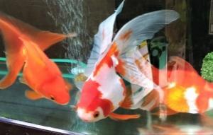 金魚 と セキセイインコ