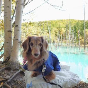 ワンコと秋の北海道旅♪美瑛めぐり@青い池