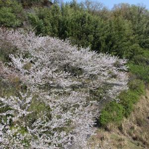 桜…満開・・・の巻