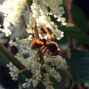 イタドリとスズメバチ