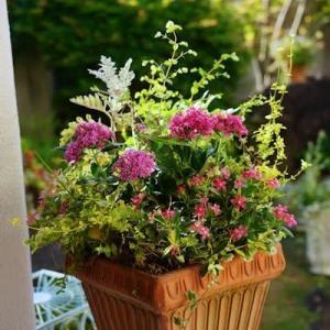 ペンタスとニチニチソウの夏鉢
