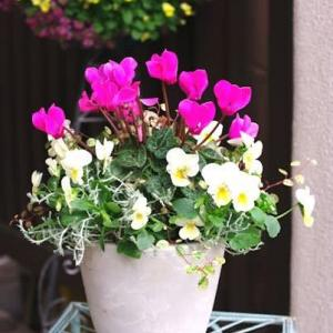 小さな鉢に植えるシクラメン