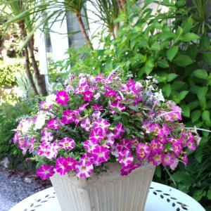 カリブラコア、角鉢に二段植え