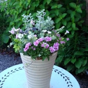 シレネ・シェルピンクの鉢