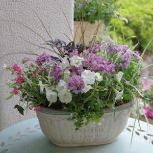 バーベナとペチュニアの鉢
