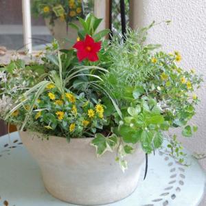 マンデビラとサンビタリアの鉢
