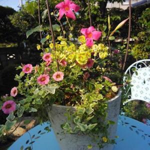 マンデビラの鉢、5月の自主レッスンとその後