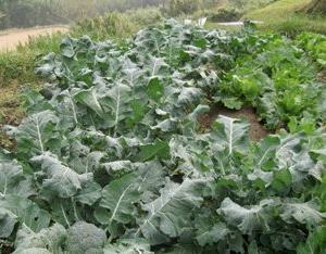 ◆体にすごく良いらしい野菜
