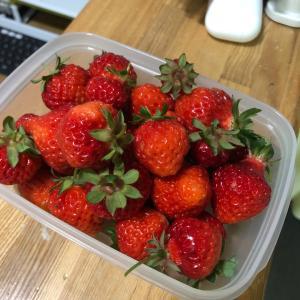 エースファームで今年も大量にイチゴの収穫です。