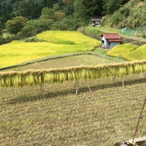 つく米棚田稲刈り