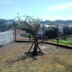 アメリカデイゴと大島桜と本サカキの植栽