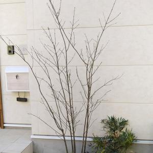 秋の植栽~アオダモ・フジ・レモン・ギンバイカ~