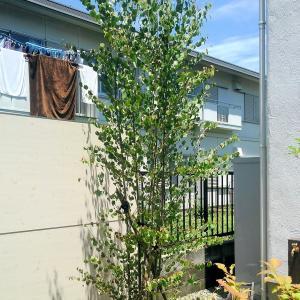 春の植栽~カツラ~オオモミジ~常緑ヤマボウシ