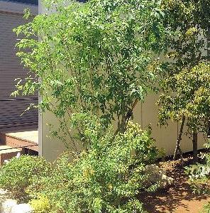 春の植栽~アオダモ~エゴノキ~ソヨゴ