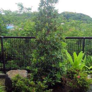 春(?!)の植栽~ヤマモモ~セイヨウニンジンボク