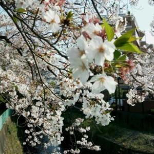 旧校舎の桜🌸パンジー♪