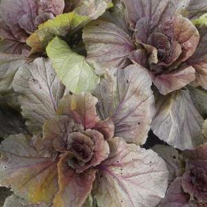 秋の葉物野菜は