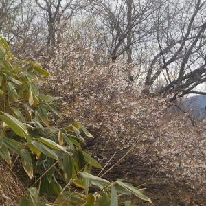 満開、清楚な山桜