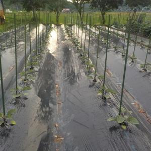 梅雨で野菜が生き返る