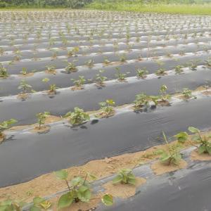 サツマイモの畝間除草
