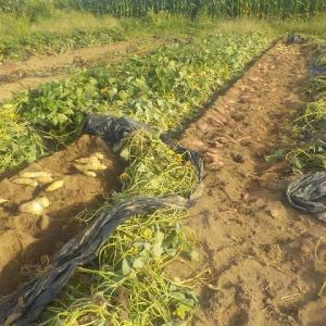 紅白のサツマイモを掘る