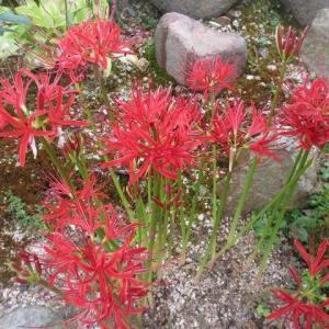 赤、白、黄色のヒガンバナ、庭の花