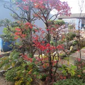 庭の木々も色づいています、地元の四季