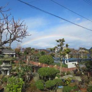 山茶花、虹