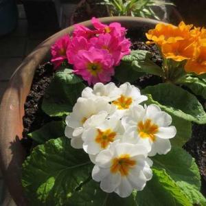 区の七不思議、今もハイビスカスが開花、プリムラ