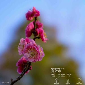 2020年3月28日(土)午前6時の気温10.5度、湿度90%、鳥取市滝山の夜明け前です。 写真は過日の鳥取市・梅里庵に咲く梅の写真です。