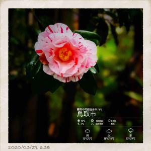2020年3月29日(日)午前6時の気温7.4度、湿度76%、曇り空で迎える鳥取市滝山の朝です。 写真は我が家の椿です。