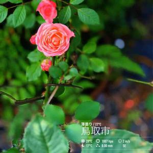 2020年6月5日(金)午前7時の気温21.0度、湿度88%、快晴で迎える鳥取市滝山の朝です。 写真は菖蒲一巡して我が家の薔薇です。