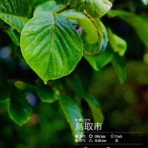 2020年6月13日(土)午前7時の気温22.0度、湿度94%、雨降りで迎える鳥取市滝山の朝です。 写真は今朝の木蓮です。