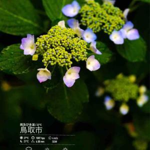 2020年6月14日(日)午前7時の気温23.0度、湿度94%、7時になり大雨警報が出た鳥取市滝山の朝です。 写真はやっと咲いた今朝の紫陽花、ずぶ濡れなりました😅
