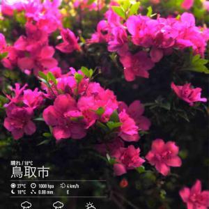 2020年6月17日(水)午前7時の気温18.4度、湿度90%、快晴で迎える鳥取市滝山の朝です。 写真は元気に咲き続ける今朝のサツキです。