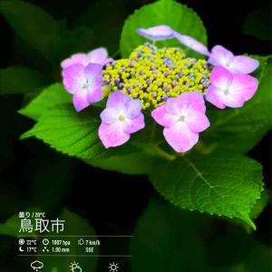 2020年6月18日(木)午前7時の気温20.0度、湿度80%、曇り空で迎える鳥取市滝山の朝です。 写真は満開になった今朝の紫陽花です。