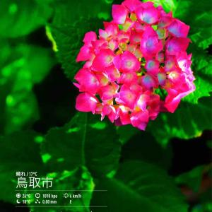 2020年6月21日(日)午前7時の気温17.7度、湿度90%、ピカピカ朝陽の鳥取市滝山の朝です。